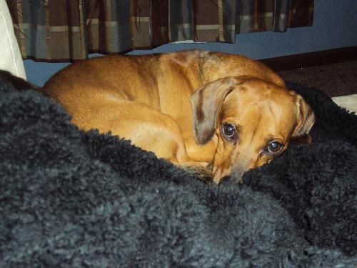 Wally Pa Adorable And Sweet Dachshund Beagle Mix Available For Adoption With Furever Dachshund Rescue With Images Beagle Animals Dogs