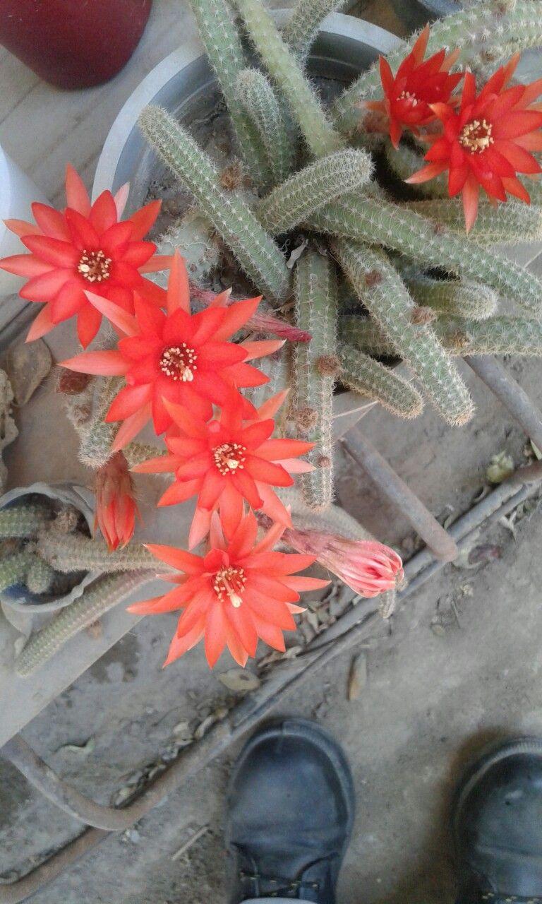 Cactus florecido