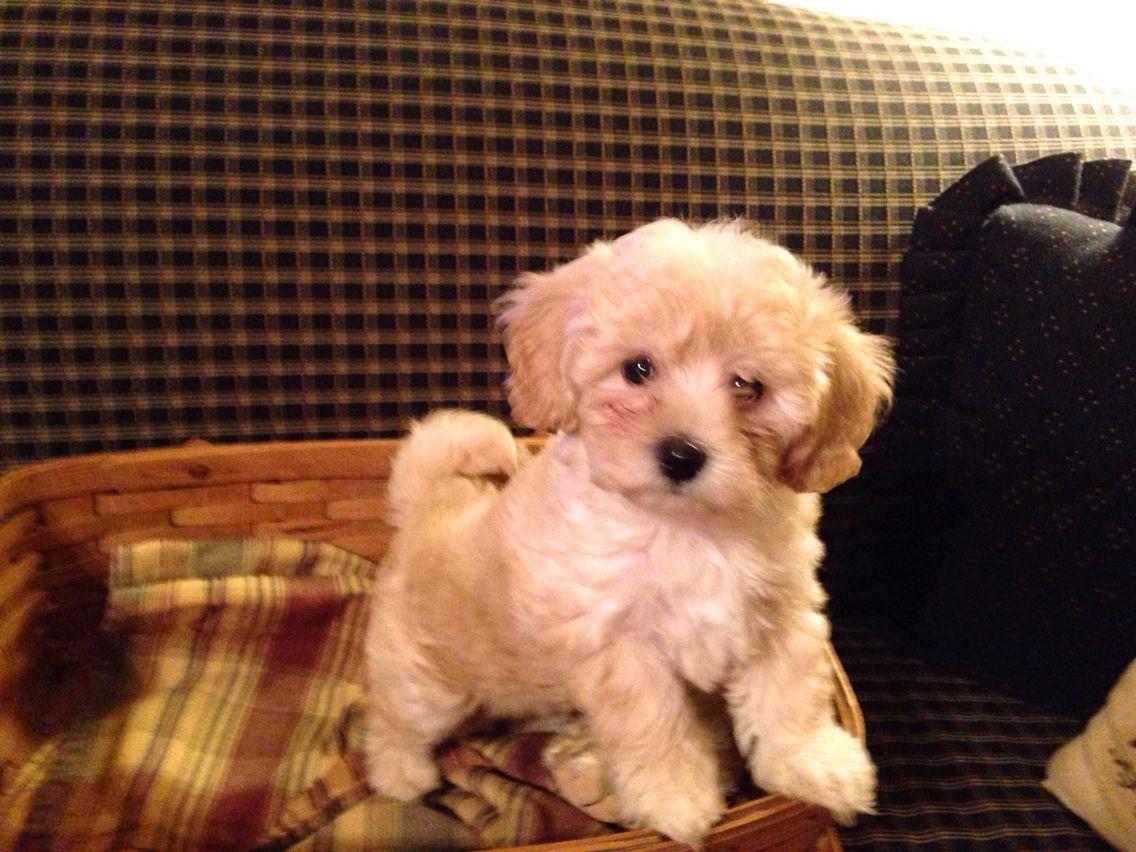 PuppyFind | Poovanese Puppies for Sale