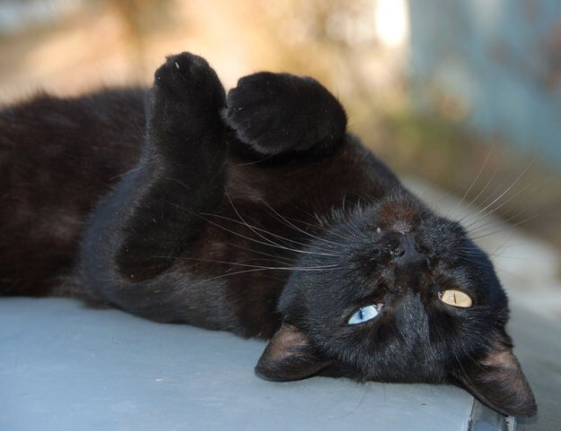 Have You Ever Seen A Solid Black Cat With Heterochromia Gorgeous Cats Black Cat Cute Cat Gif
