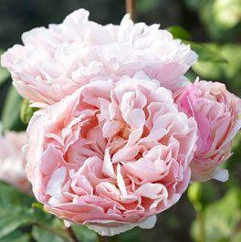 Duftjuwel Kletterrosen Rosen Blumen