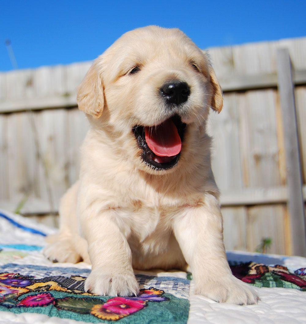 Golden Retriever Puppy Golden Retriever Dogs Puppies Pet Dogs