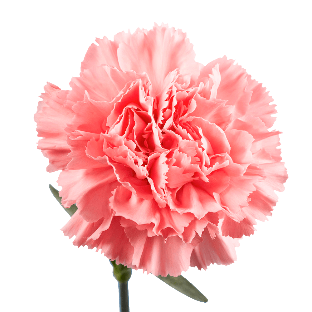 Pink Carnations In 2020 Carnations Carnation Flower Pink Carnations