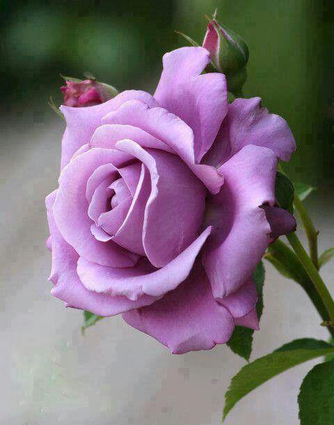 Purple Bluemoon Rose