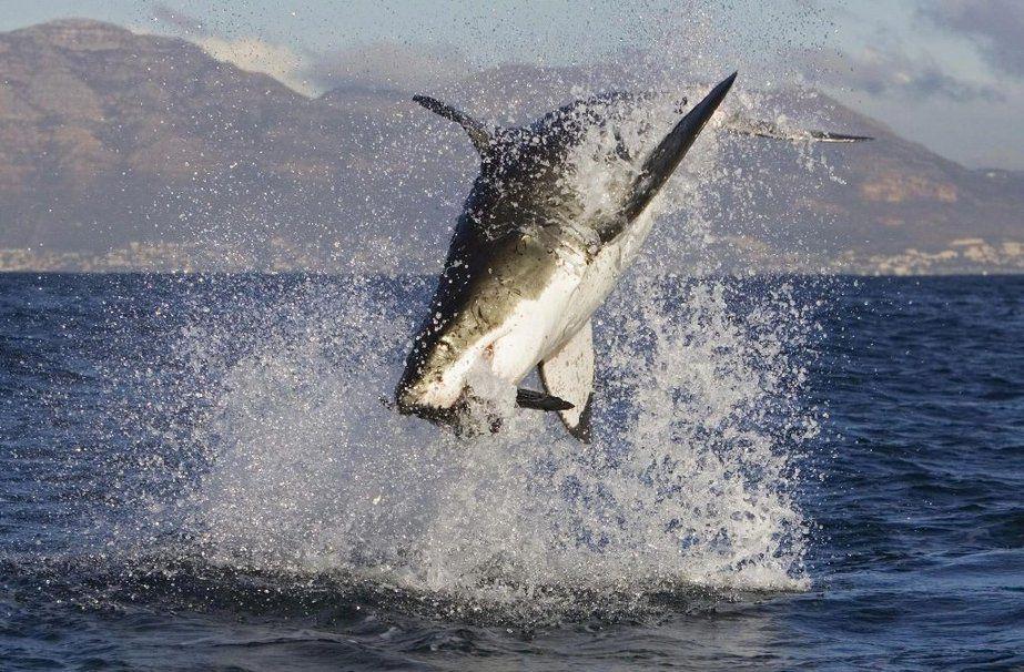 Attaques De Grand Requin Blanc Wallpaper Avec Images Grand Requin Blanc Photos De Requin Requin