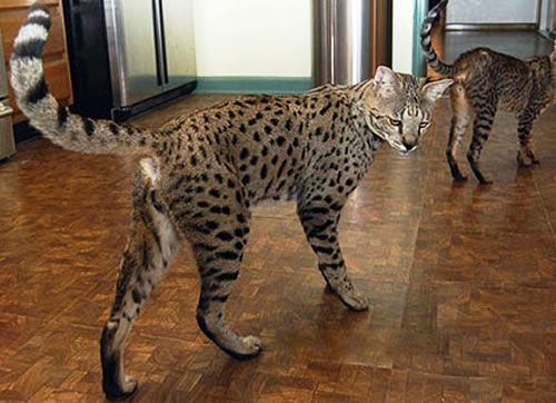 Top 5 Biggest Domestic Cats Koshachi Oboi Koshki I Kotyata