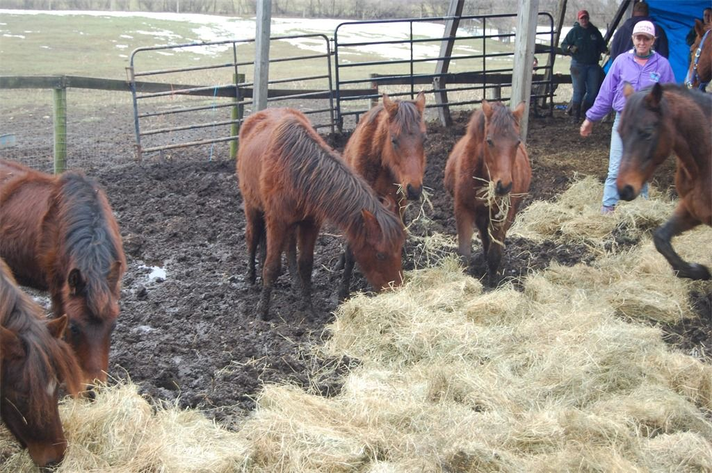 Hay is put down to coax the horese off the manure