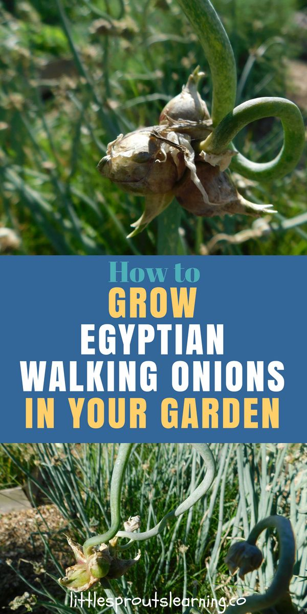 How to Grow Egyptian Walking Onions in Your Garden is part of Big garden Articles - EGYPTIAN WALKING ONIONS Did you know there were perennial onions that keep growing in your vegetable garden without replanting
