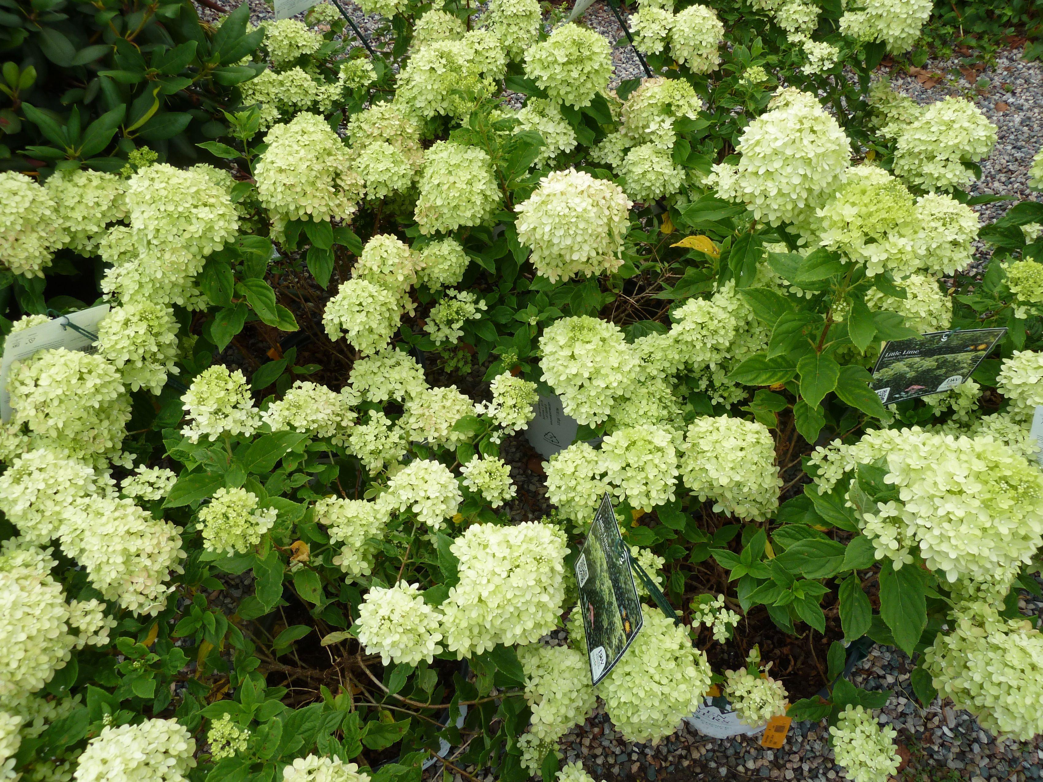 Little lime hardy hydrangea proven winner near for Limelight hydrangea