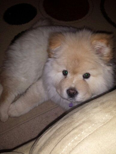 Aspen The Cream Chow Chow Dogs Animals
