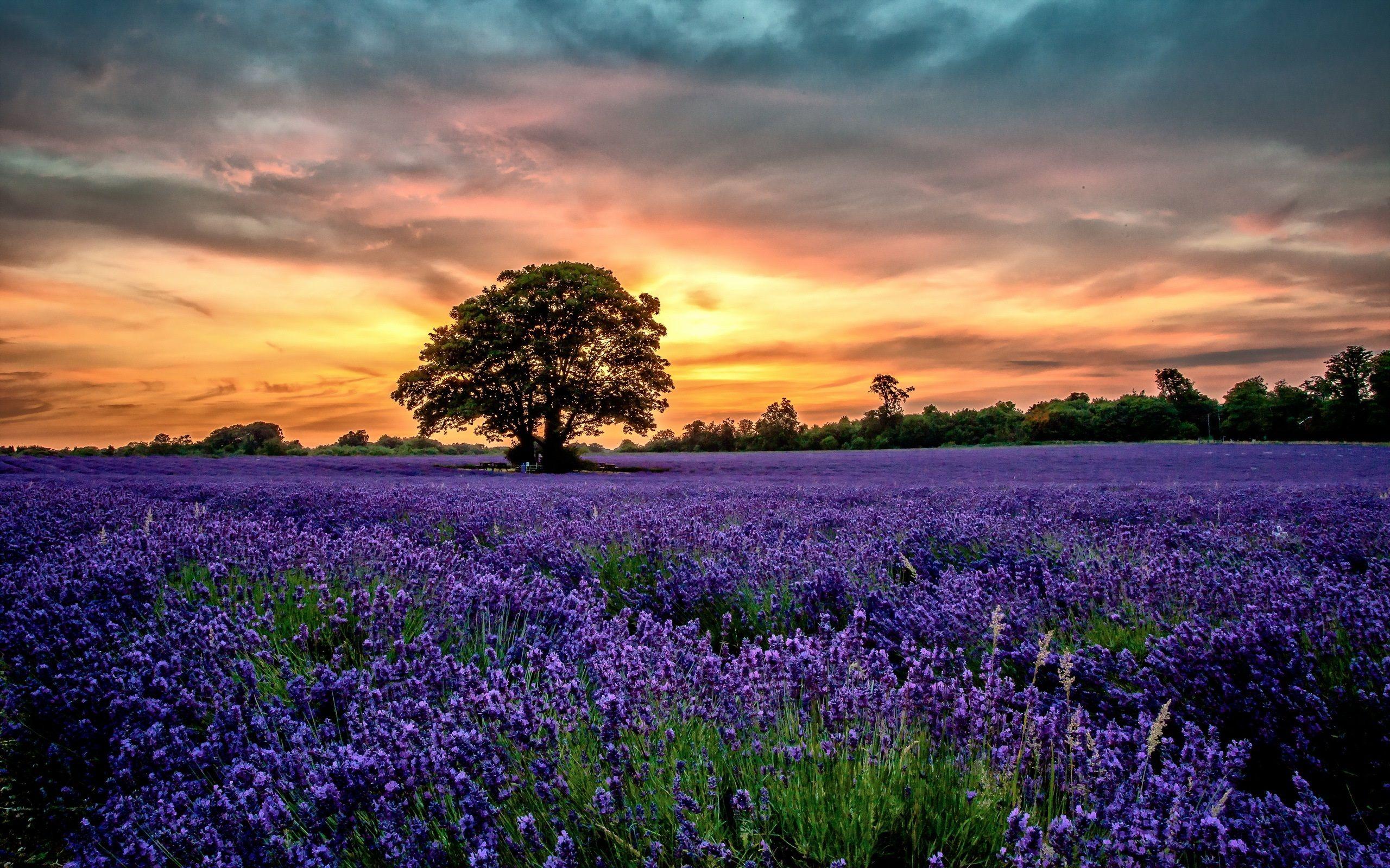 紫色のラベンダー畑 風景 夕焼け 花 壁紙 2560x1600 ラベンダー