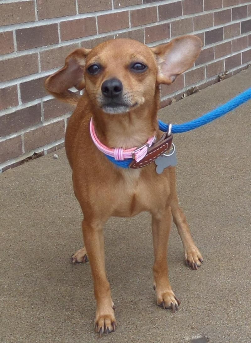 Adopt Gidget On Mini Pinscher Lap Dogs Chihuahua Dogs