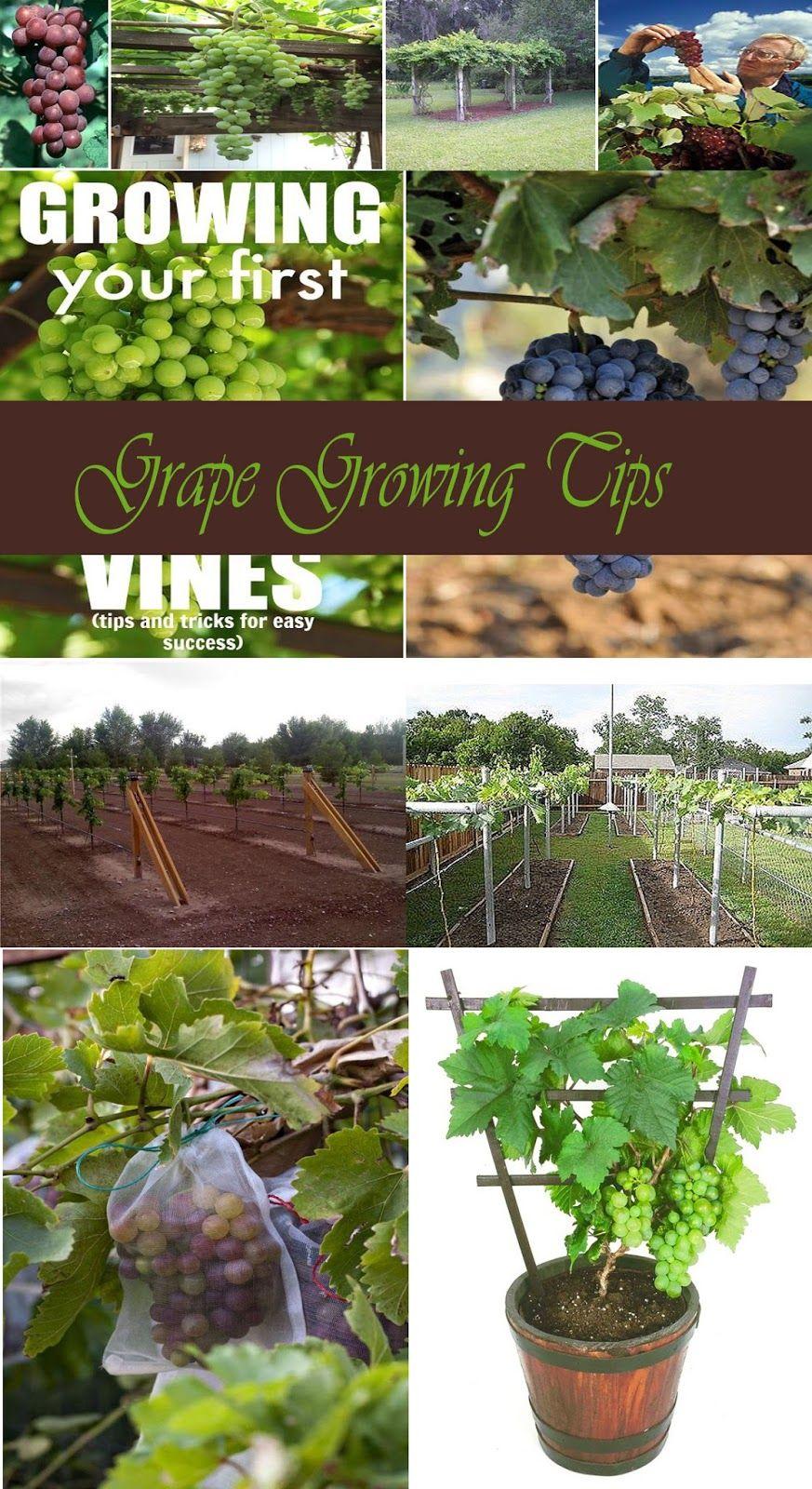 Grape Growing Tips Grape Plant Grape Vine Plant Growing Grapes