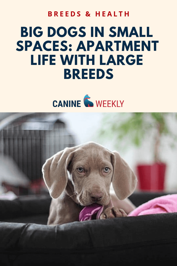 10 Best Big Dogs For Apartments Best Apartment Dogs Apartment