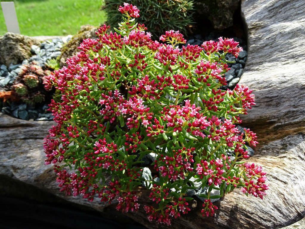 Crassula sarcocaulis Bonsai Crassula   World of Succulents ...