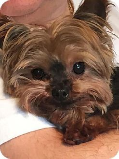 Pictures Of Bella Angel Belle A Yorkie Yorkshire Terrier For
