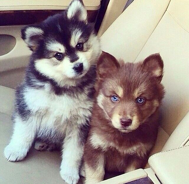 Husky Puppies That Chocolate 1 Is So Cute Cute Animals Cute