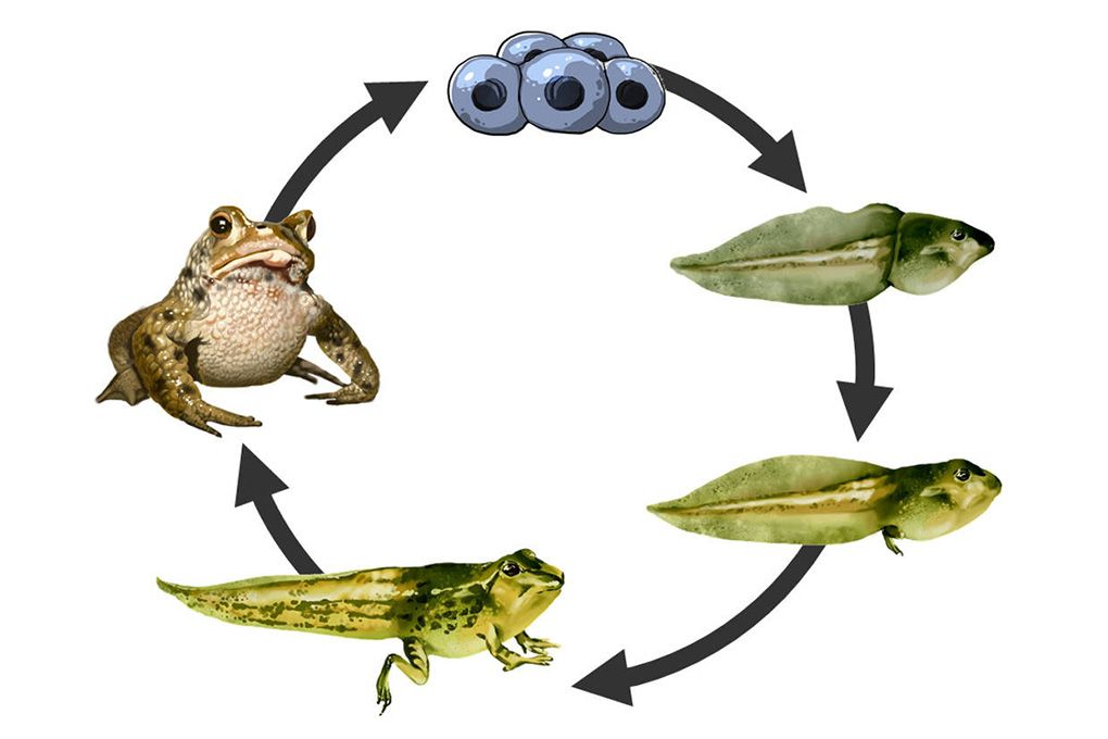 Metamorphose Entwicklung Von Der Kaulquappe Zum Frosch Sofatutor Com Amphibien Kaulquappen Metamorphose