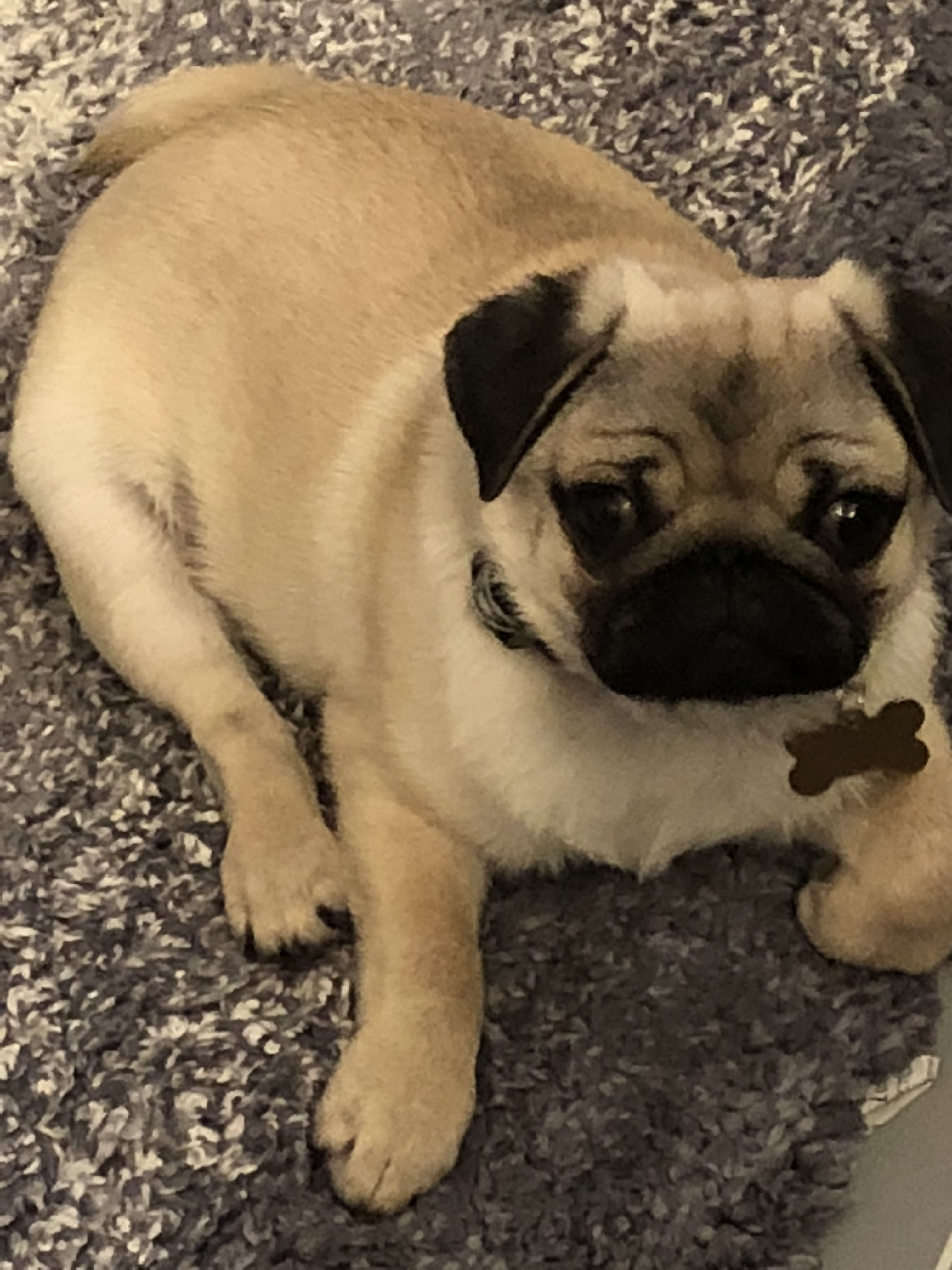 Pin On A Day In The Life Of Maverick The Pug