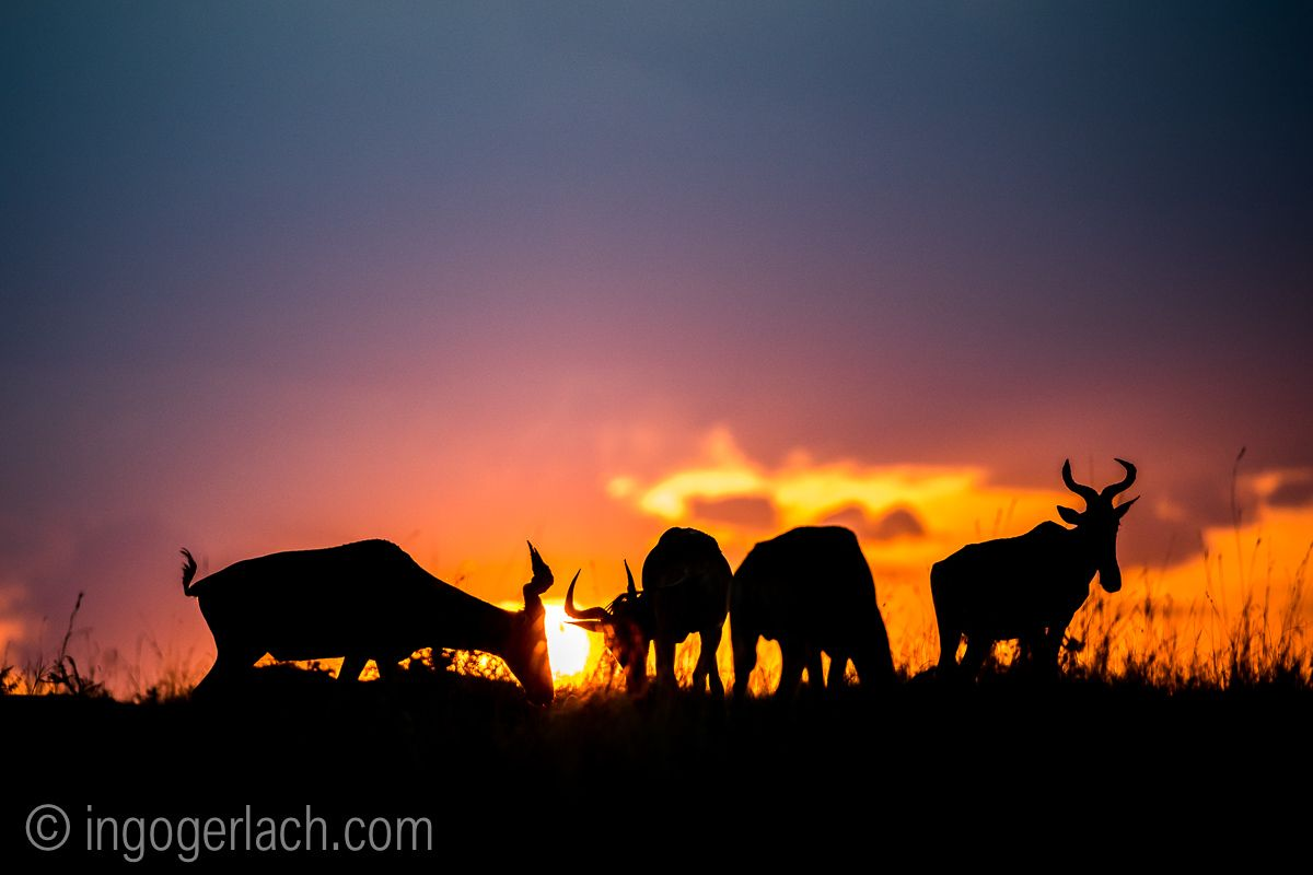 Kongoni Wildebeest Kuhantilope Gnu At Sunset