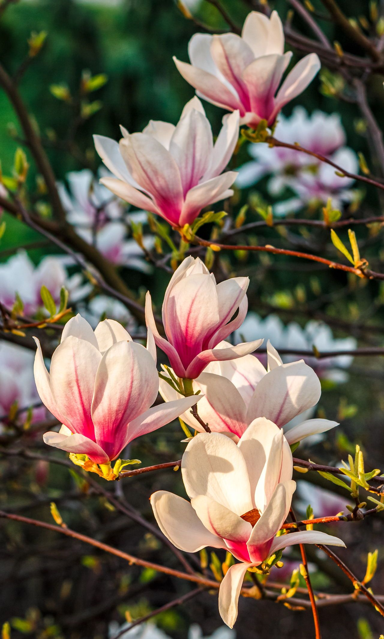 You Need To Be Aware Of The Diseases That Affect Magnolia Trees Gardenerdy In 2020 Nature Photography Flowers Magnolia Flower Magnolia Trees