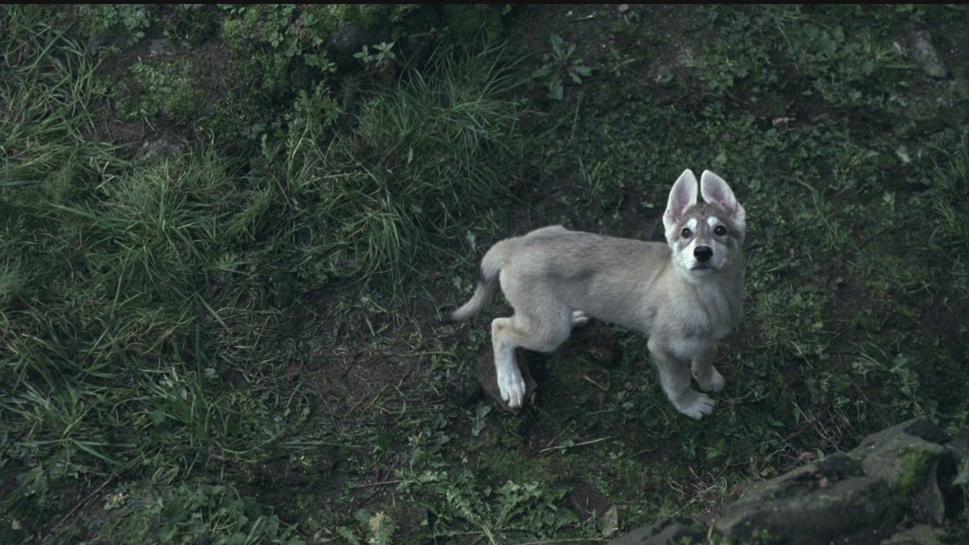 Game Of Thrones Direwolf Pup Northern Inuit Dog Dire Wolf