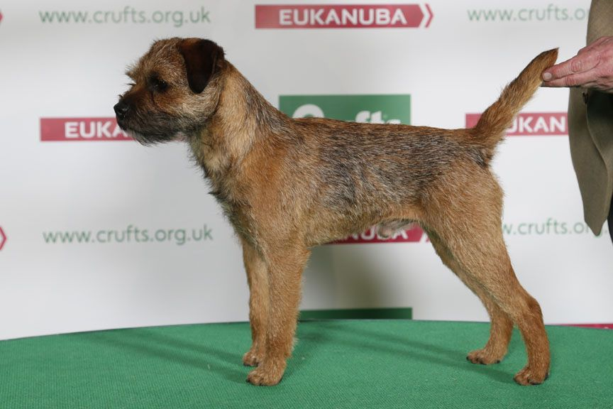 Dandyhow Dr Walter Border Terrier Border Terrier Dog Images Dogs