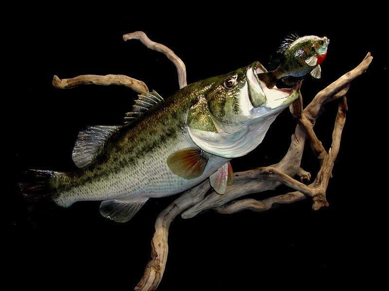 4 Largemouth Bass Reproduction On Driftwood Base For Wall