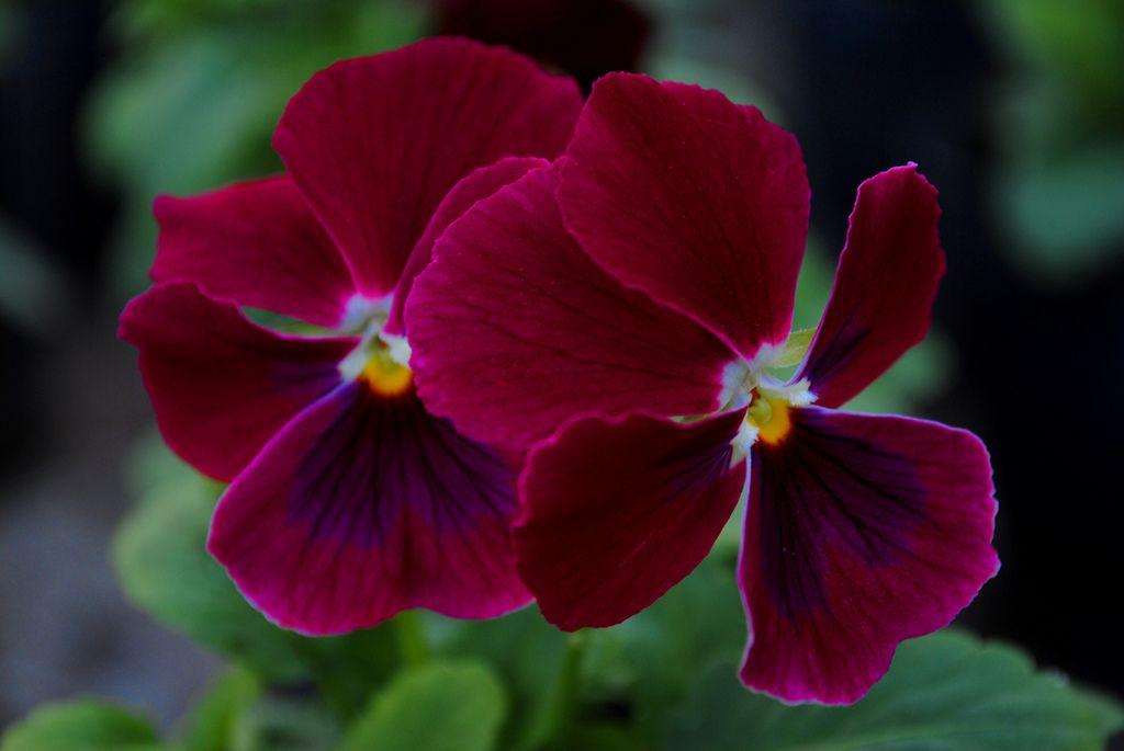 Viola Cornuta Penny F1 Rose Blotch Marsala Flowers Rose Flowers