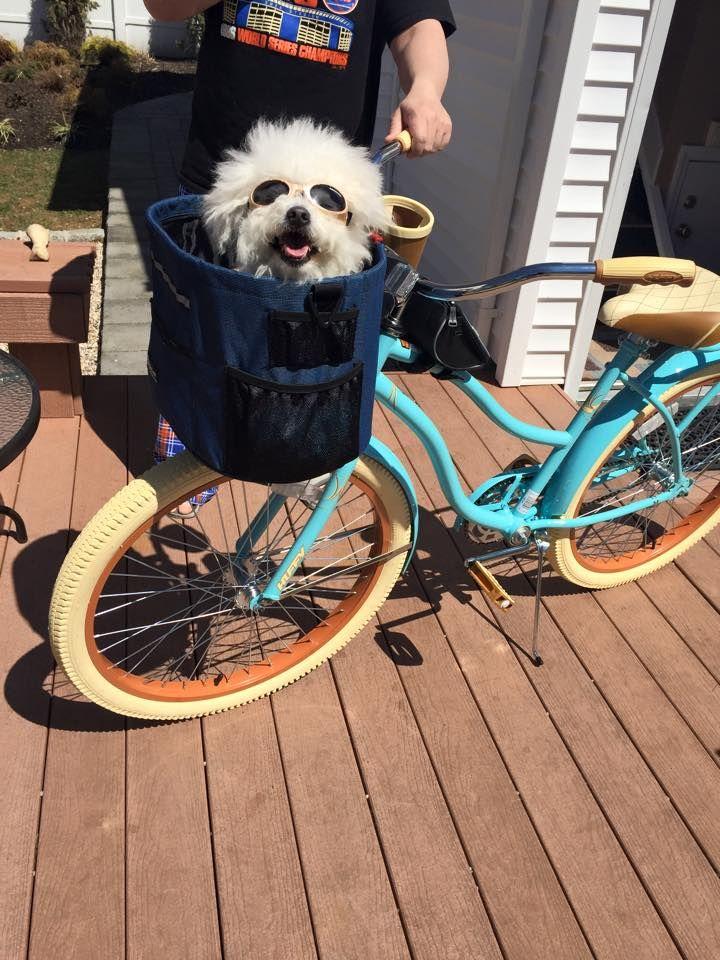 Mr B - the bike bichon