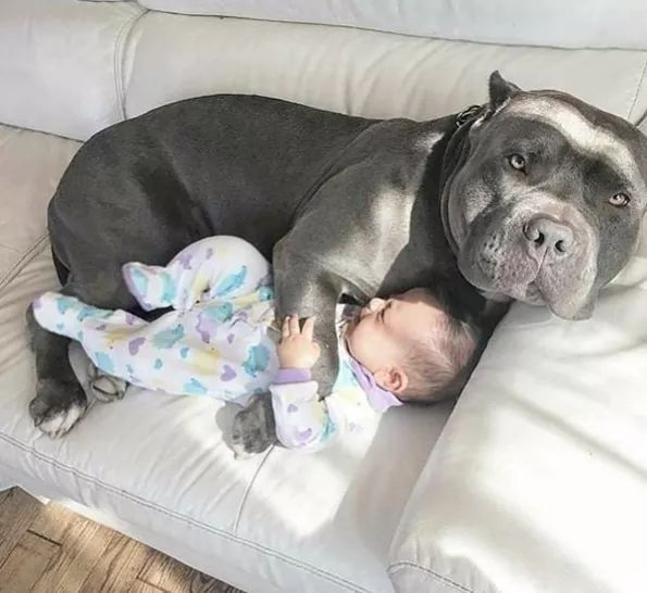 Pits Are Just Extra Big Babies Great Family Dogs Cute Baby