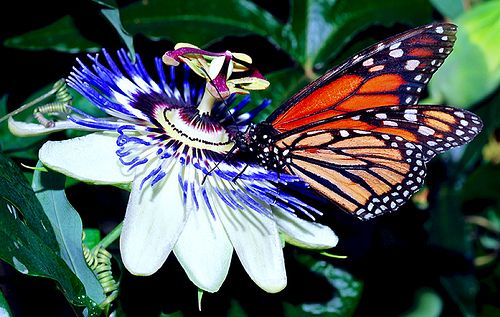 Passion Flower And Butterfly Passion Flower Passion Vine Monarch Butterfly