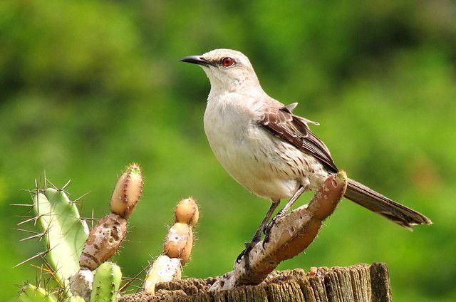 Foto sabiá-da-praia (Mimus gilvus) por Rafael Boni | Wiki Aves - A Enciclopédia das Aves do Brasil - Conhecida como Tejo-da-praia ou sabiá-branco.