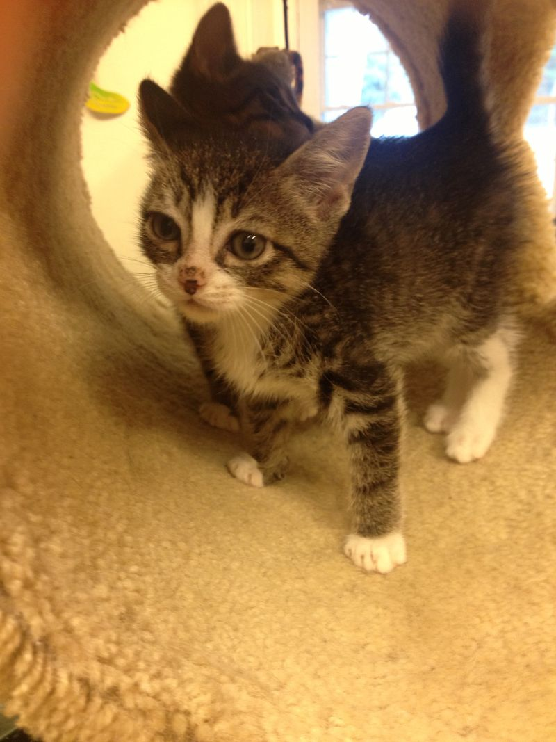 Hello My Name Is Stormy Because I Was Rescued From A Storm Drain I Am A 7 Weeks Old Little Boy Who Is Very Very Kitten Adoption Cats And Kittens Cat Rescue
