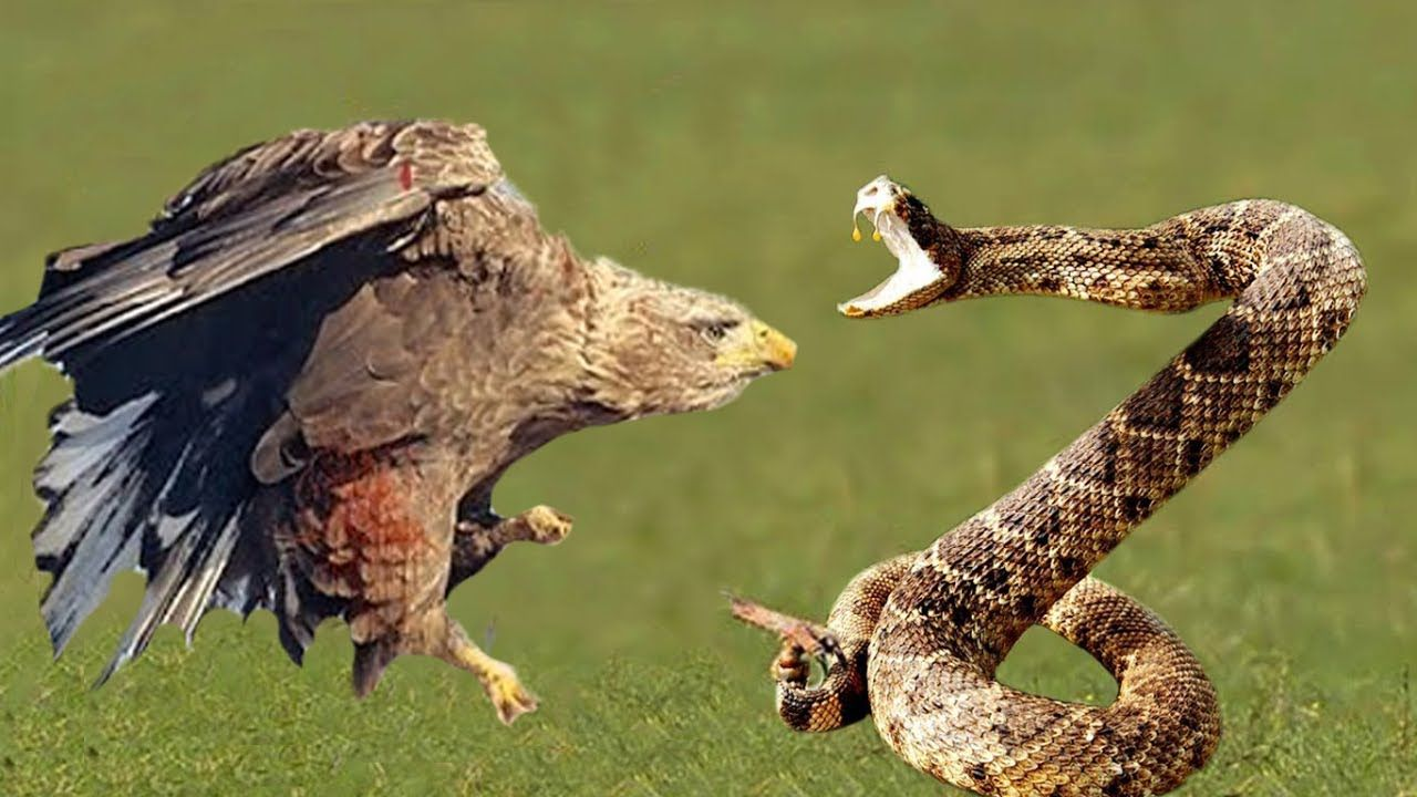 Best Documentary Eagle Attacks and Kills Snake (With