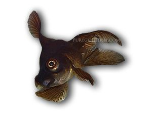 Sick Goldfish Goldfish Illness Diagnosis Puregoldfish
