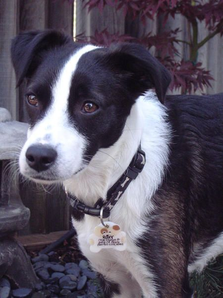 Border Collie Mix With Fox Terrier This Is What Max Supposedly