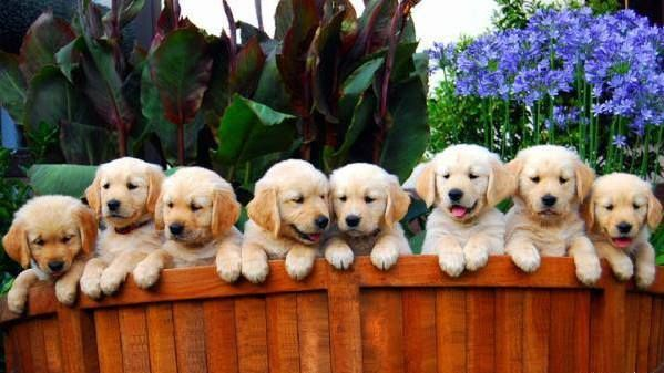 Golden Retriever Litter Size Golden Retriever Litter Golden