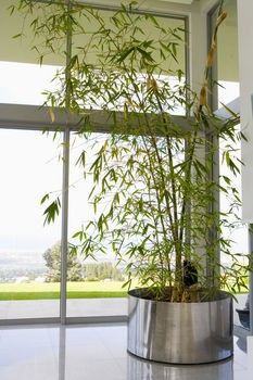 Indoor bamboo plants how to. | Decor | Pinterest | Indoor bamboo ...