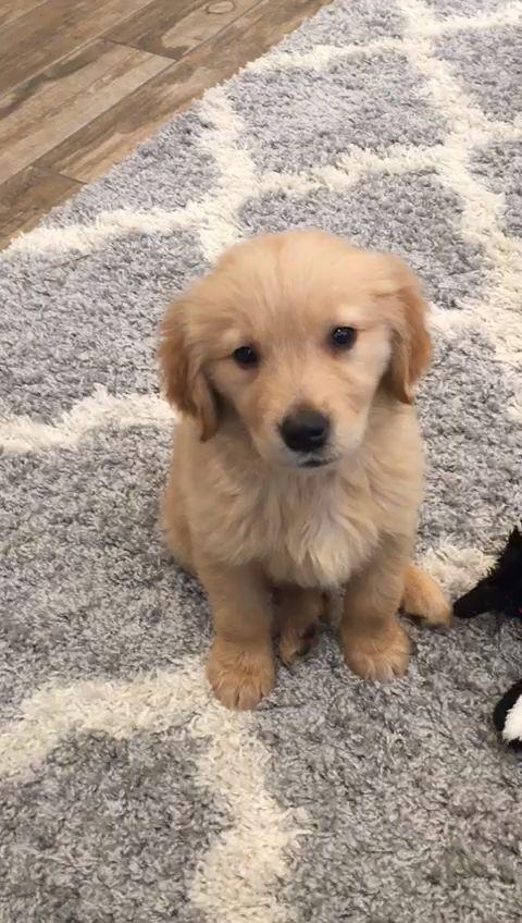 Golden Puppy Has The Hiccups Https Ift Tt 2kyq1pq Cute Puppies