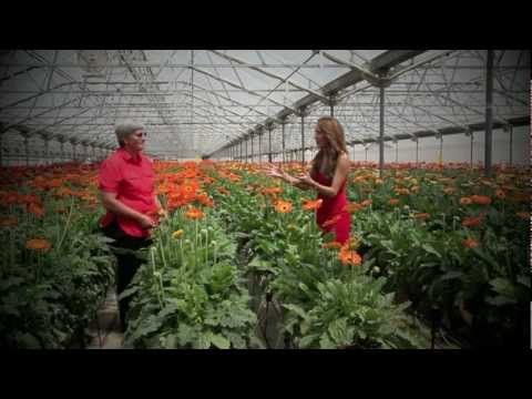 This Time We Give You An Inside Look At What It Takes To Grow Gerberas And Get Them From Our Farm To Your Table Skyline Flo Gerberas Flower Farm Flower Field