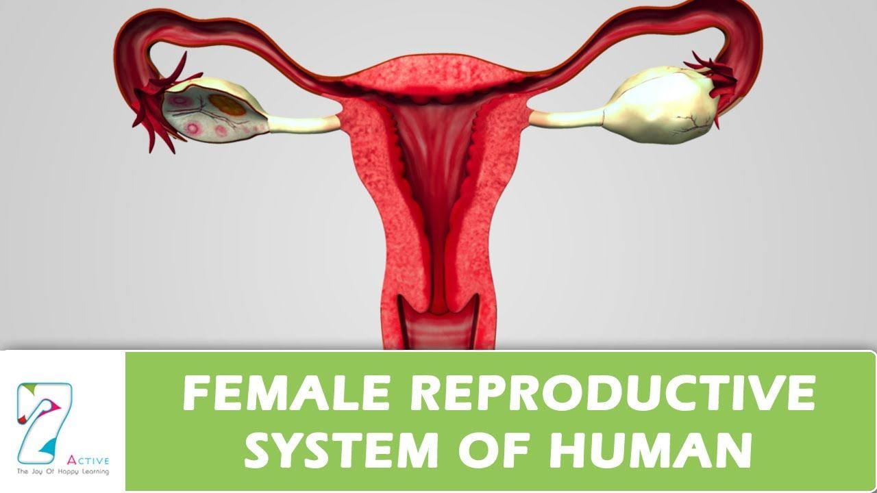 Female reproductive system is an important organic system in female reproductive system is an important organic system in females for reproduction process reproduction is pooptronica
