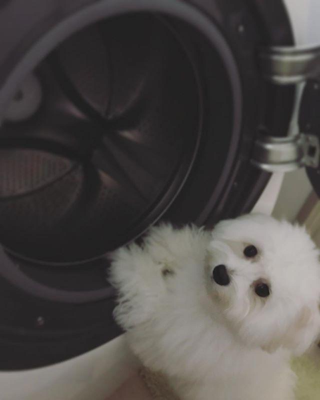 お手伝いできるよ Pomapoo Pomeranian Toypoodle Mixdog Kawaii Whitedog ポメプー ポメラニアン トイプードル ミックス犬 全国ポメプー会 犬のいる暮らし 白犬 愛犬 わんこ ふわもこ部 もふもふ 愛しい 犬 ミックス犬 ドラム式洗濯機