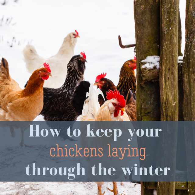 How To Keep Your Chickens Laying Through The Winter