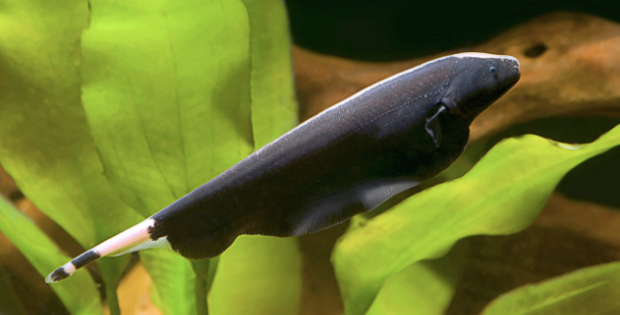 If You Re Reading This You Are Probably Considering Adding A Black Ghost Knife Fish To Your Aquarium And Let Me Tell You I Can T Fish Fish Care Tropical Fish