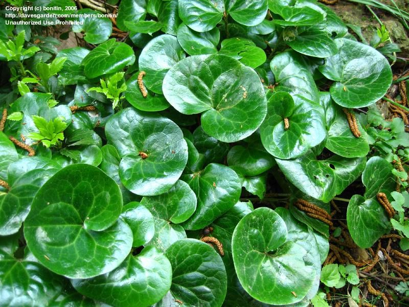 'European Wild Ginger' Family: Aristolochiaceae  Genus: Asarum  Species: europium  Zone 4-8. Partial to Full Shade. All parts of plant are poisonous if ingested. ****Very high moisture needs; suitable for bogs and water gardens.