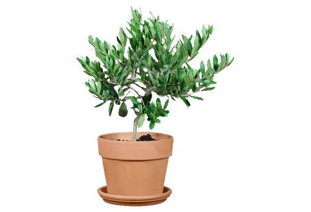"""17"""" Olive Tree in Clay Pot, Live 