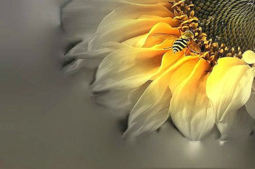 sunflower ©made by me