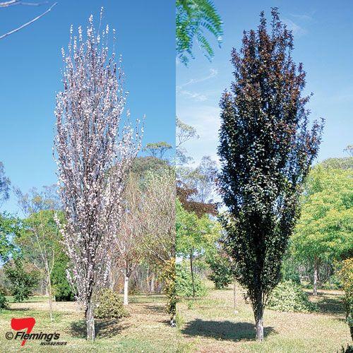 Oakville Crimson Spire Flowering Plum Tree Ideal Gardens Deciduous Trees