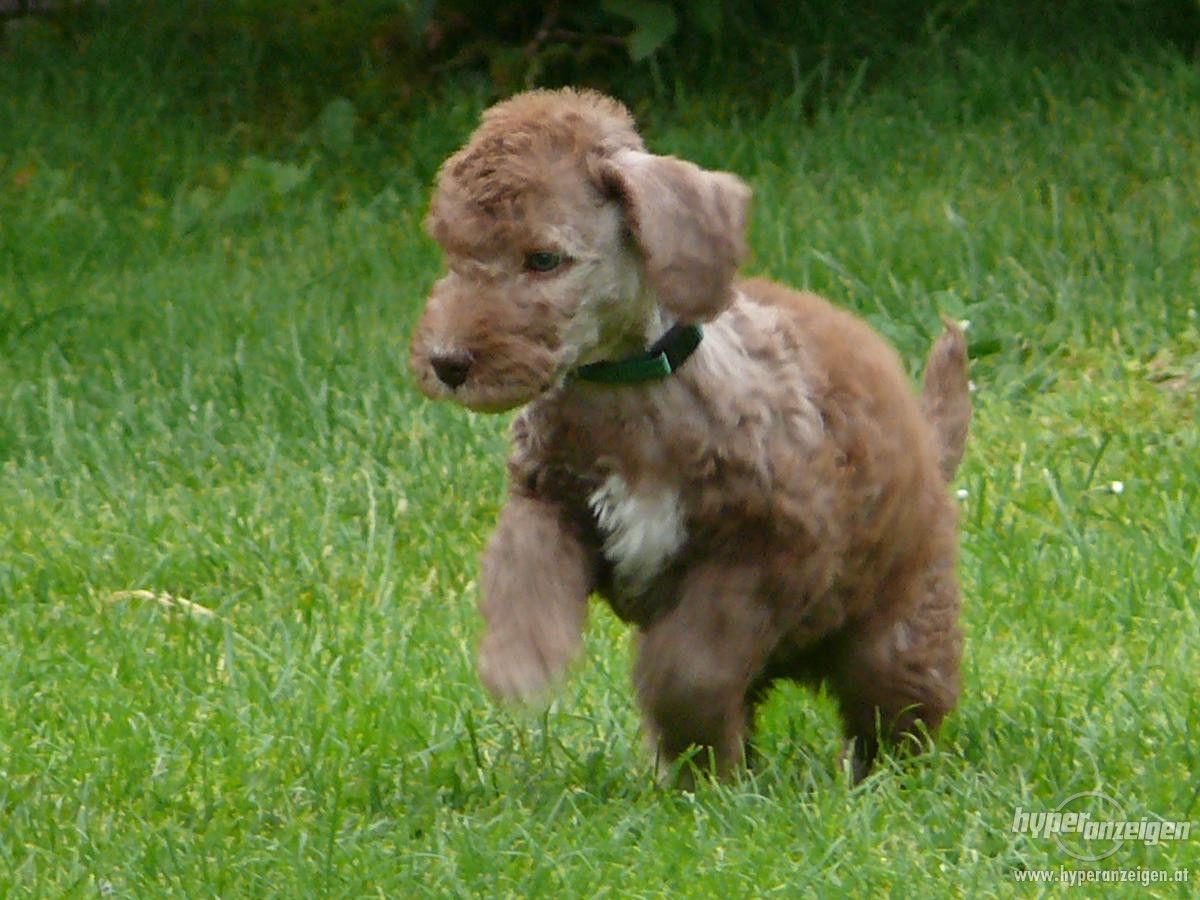 Bedlington Terrier - welpen. Insertion - Tiere, Hunde. Andere ...